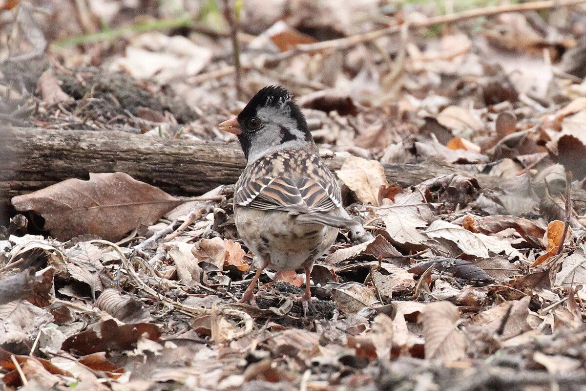Photograph titled 'Harris's Sparrow'