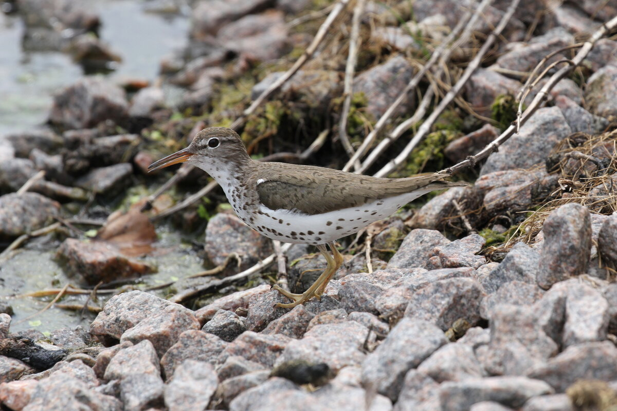 Photograph titled 'Spotted Sandpiper'