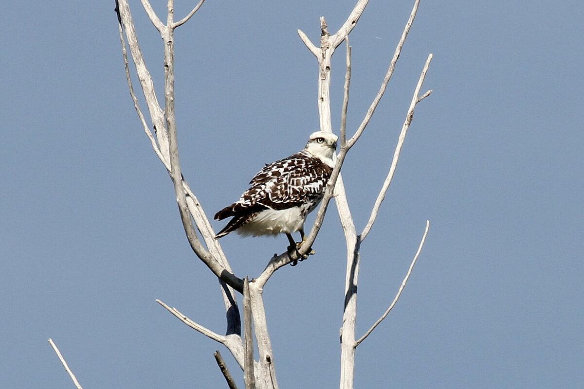 Фотография 'Red-tailed Hawk (Harlan's)'