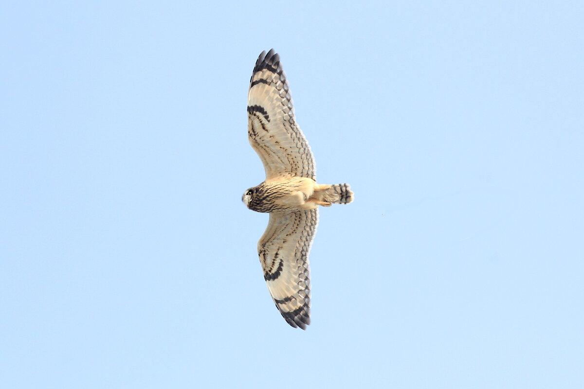 Фотография 'Болотная сова'