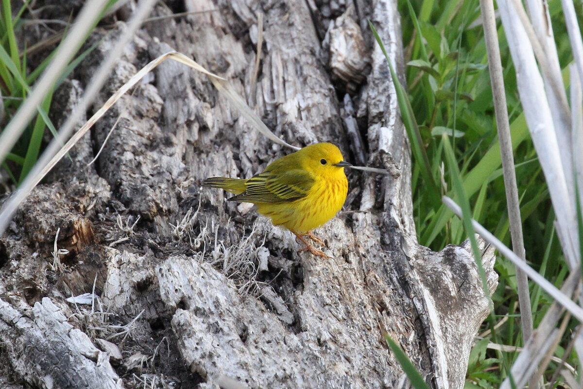 Фотография 'Желтая древесница'