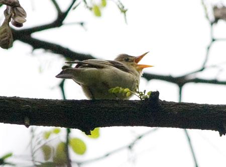 Зеленая пересмешка