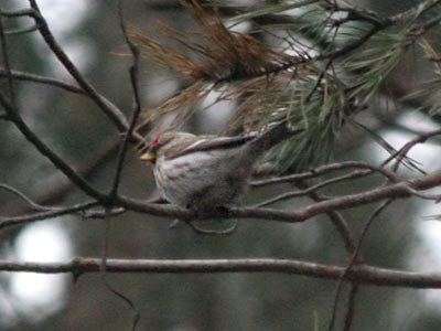 Photograph titled 'Common Redpoll'