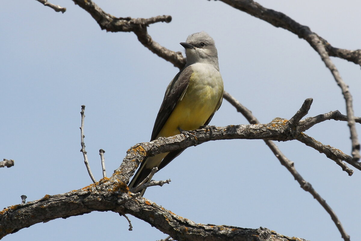 Photograph titled 'Western Kingbird'
