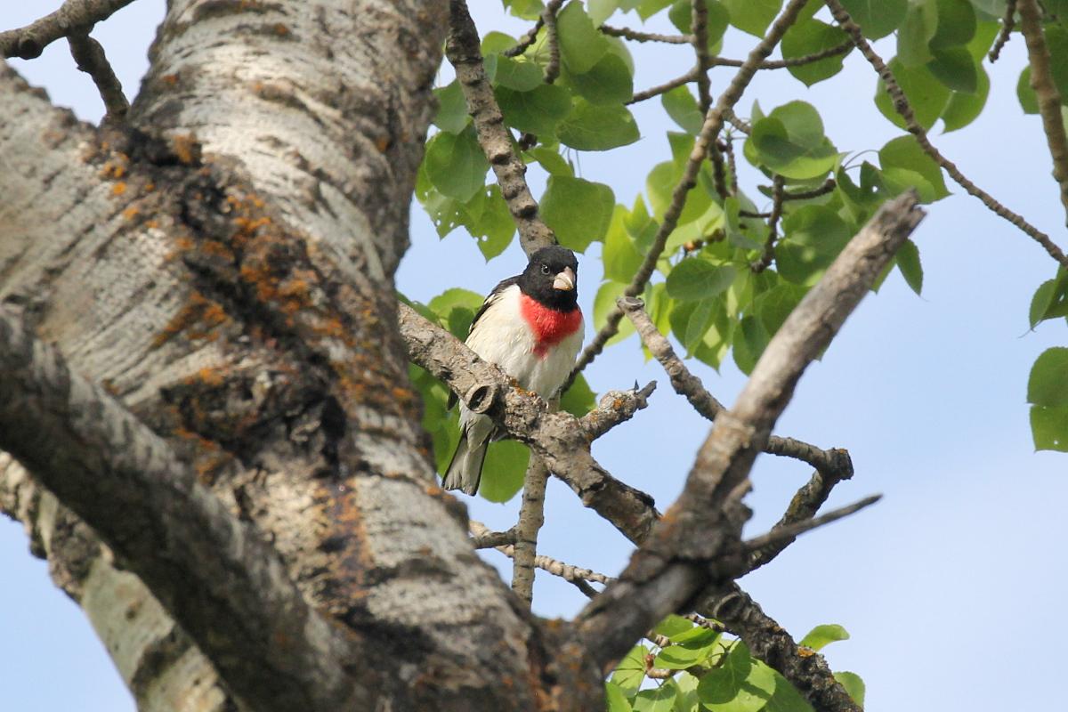 Красногрудый дубоносовый кардинал