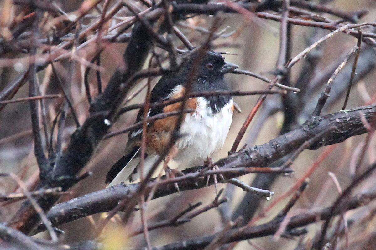 Photograph titled 'Eastern Towhee'