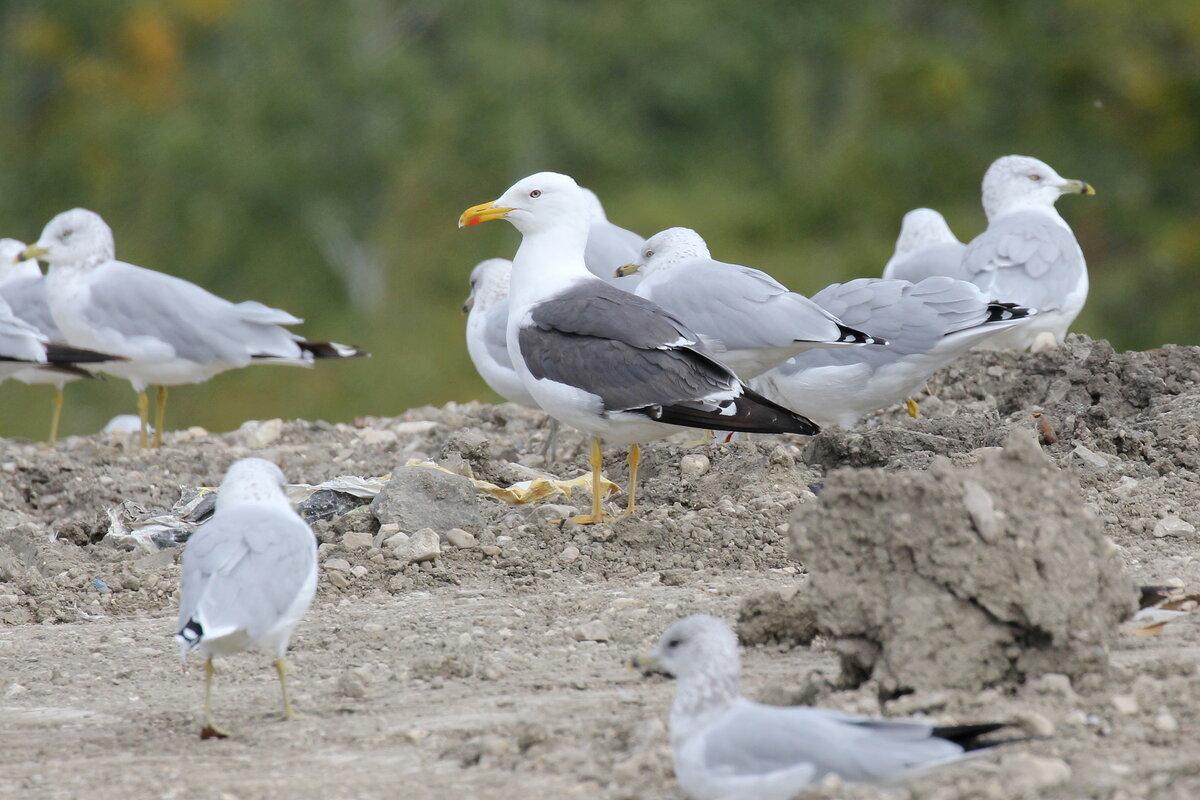 Photograph titled 'Lesser Black-backed Gull'