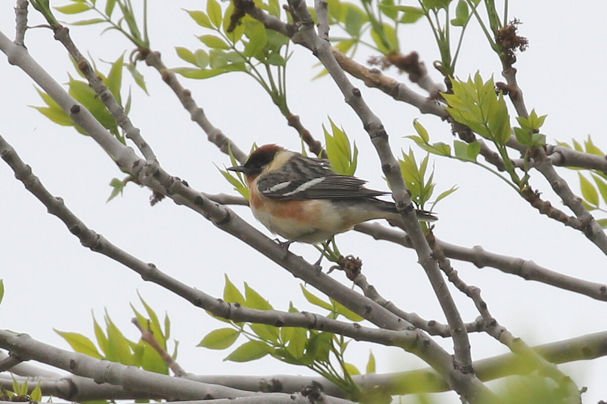 Photograph titled 'Bay-breasted Warbler'