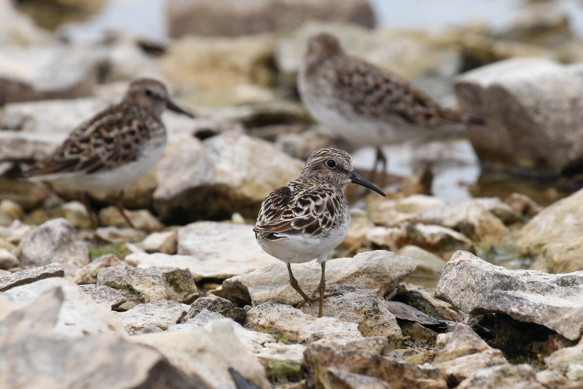 Photograph titled 'Least Sandpiper'