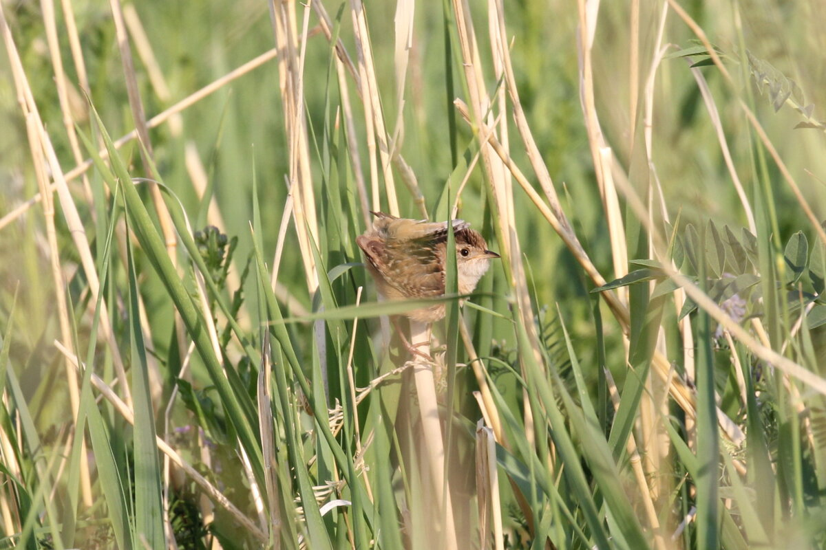 Photograph titled 'Sedge Wren'