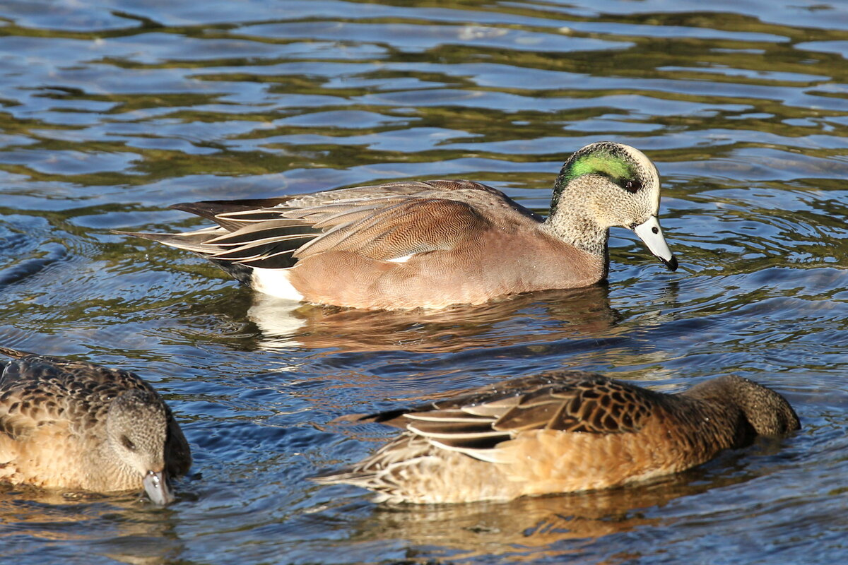 Photograph titled 'American Wigeon'