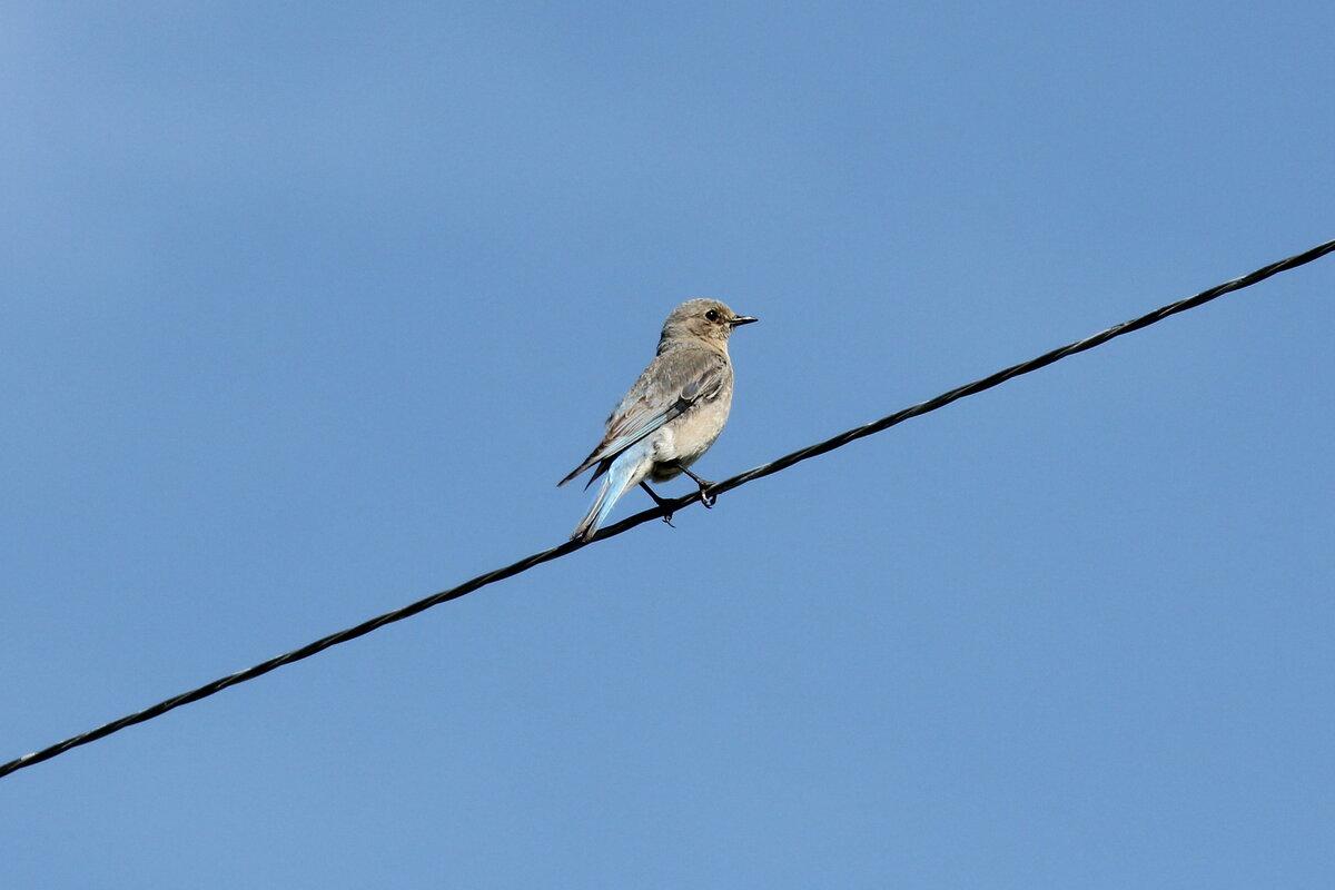 Photograph titled 'Mountain Bluebird'