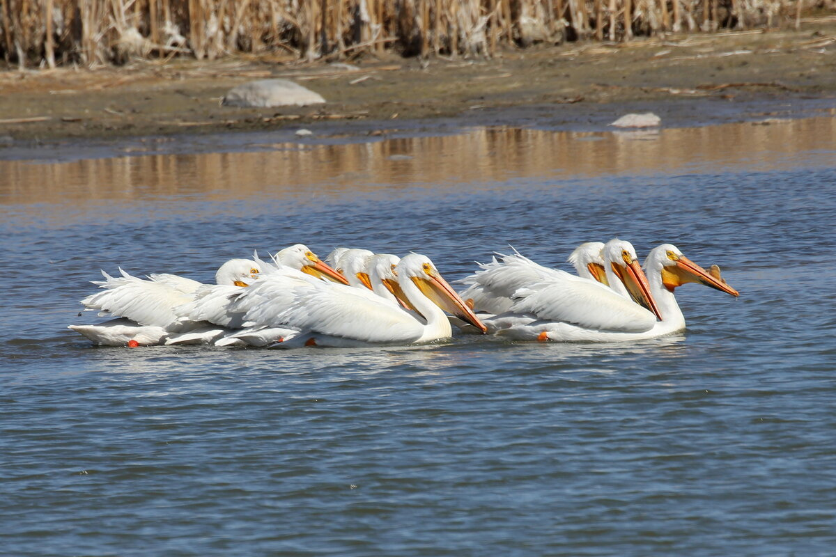 Photograph titled 'American White Pelican'