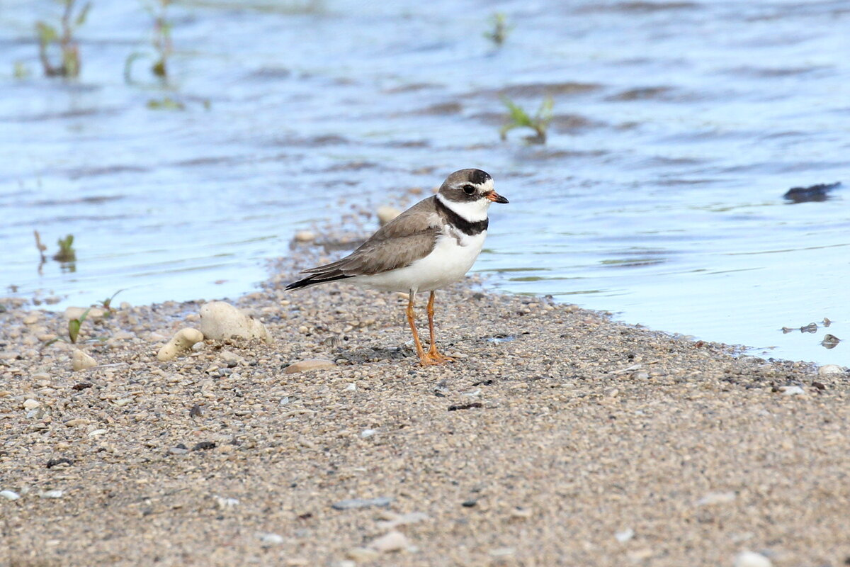 Photograph titled 'Semipalmated Plover'