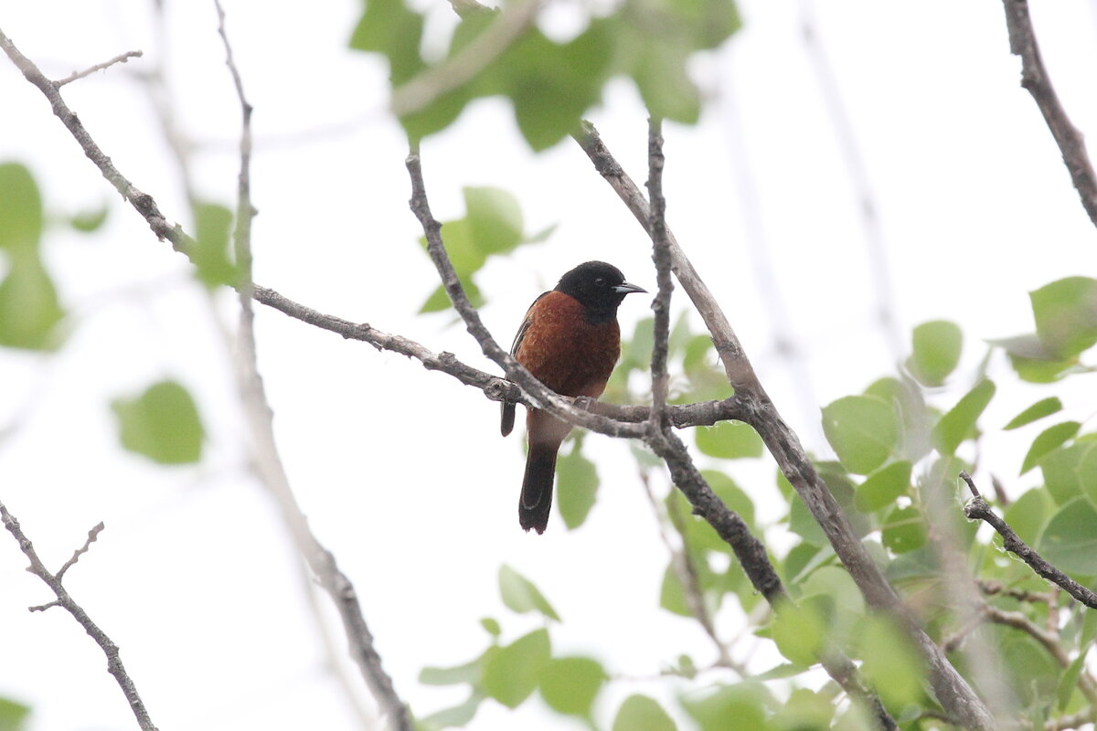 Photograph titled 'Orchard Oriole'