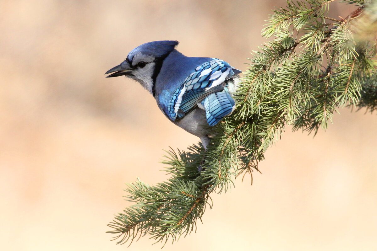 Photograph titled 'Blue Jay'