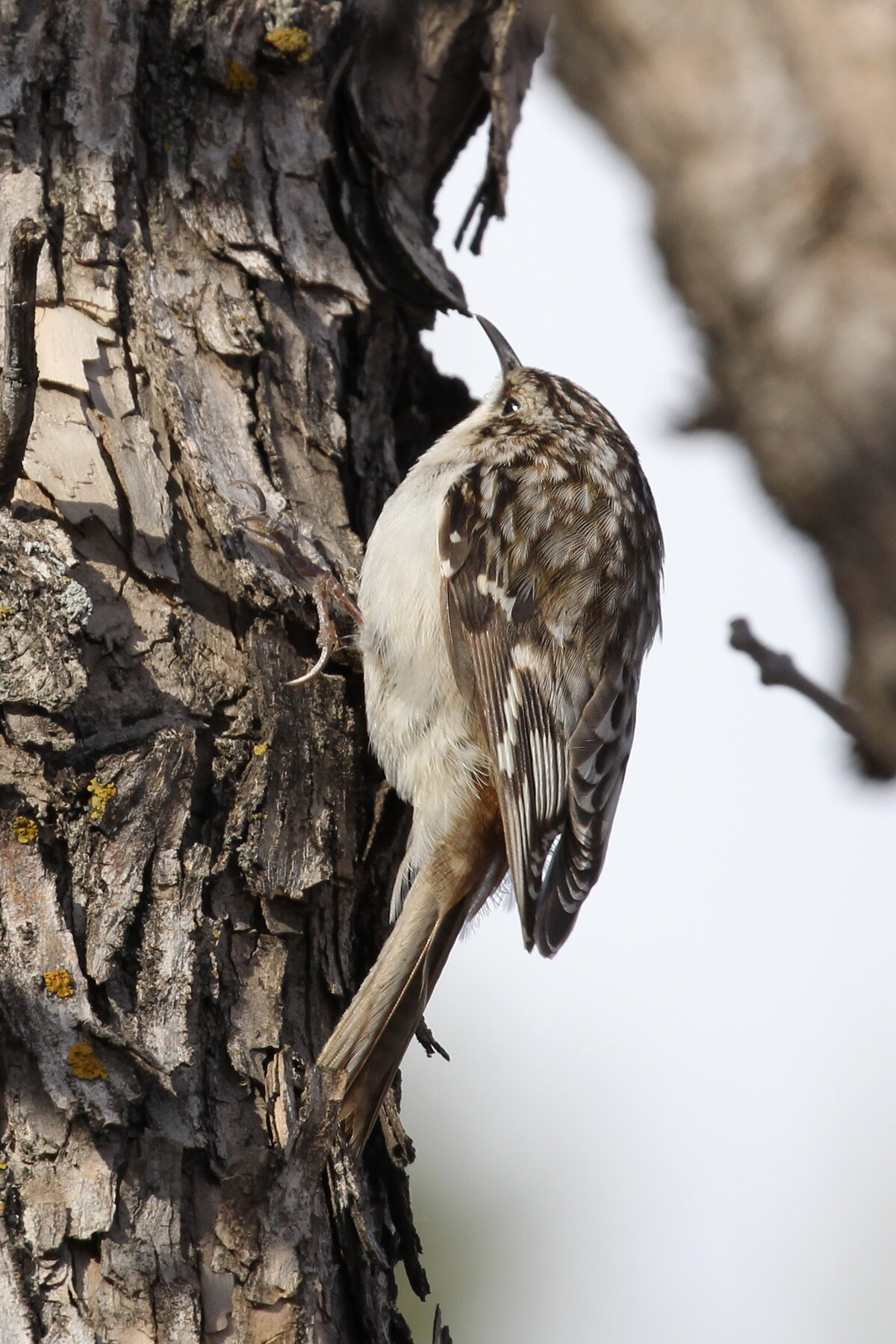 Photograph titled 'Brown Creeper'