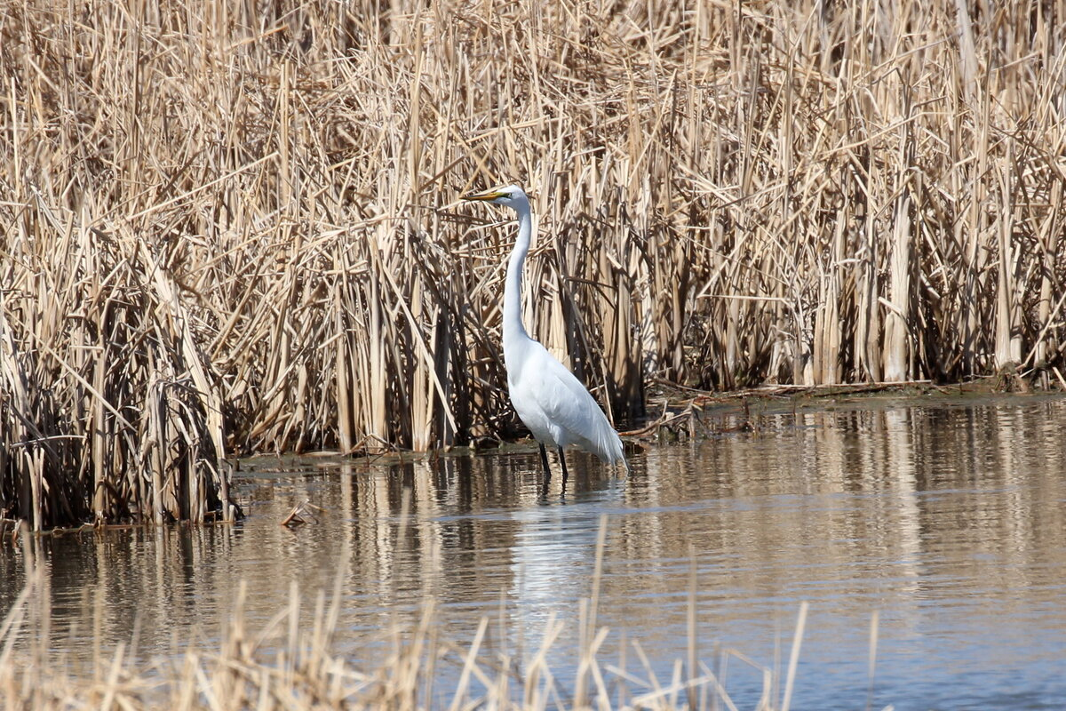 Photograph titled 'Great White Egret'