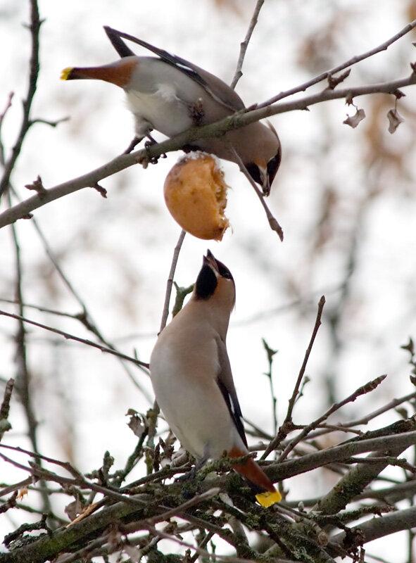 Фотография 'Свиристели на яблоне'