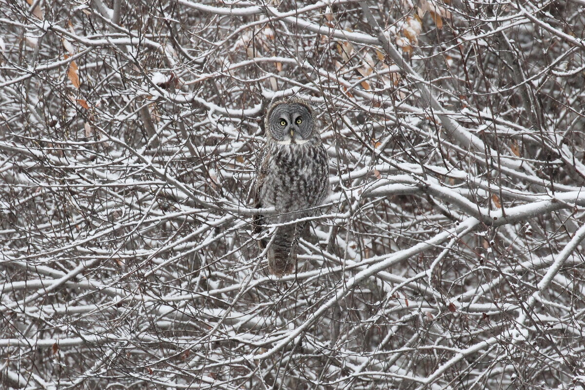 Photograph titled 'Great Gray Owl'