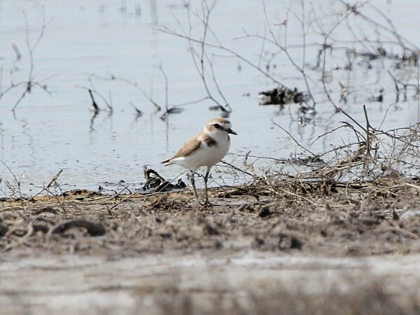 Photograph titled 'Kentish Plover'