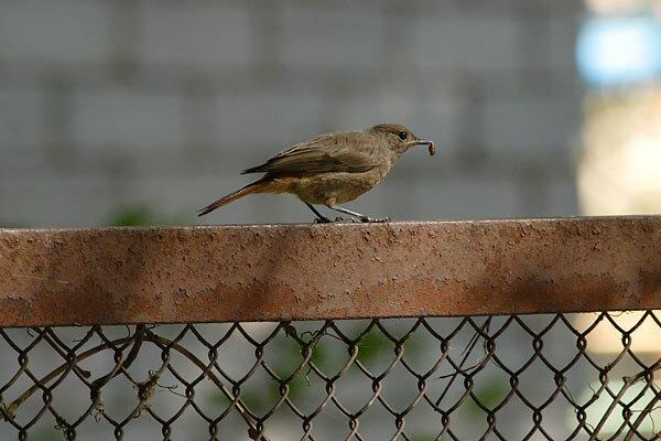 Фотография 'Горихвостка-чернушка'