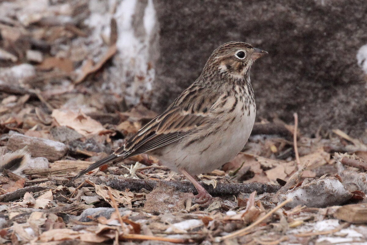 Photograph titled 'Vesper Sparrow'