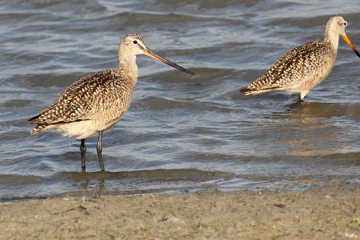 Photograph titled 'Marbled Godwit'