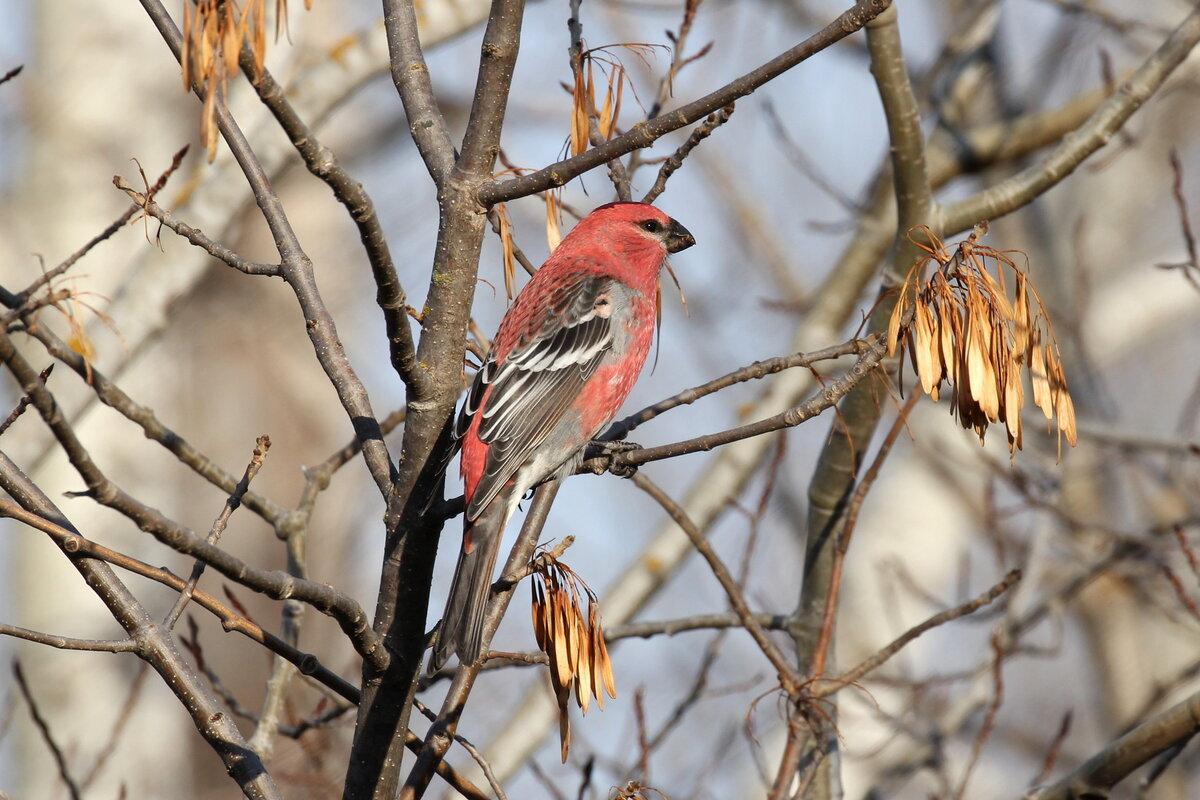 Photograph titled 'Pine Grosbeak'