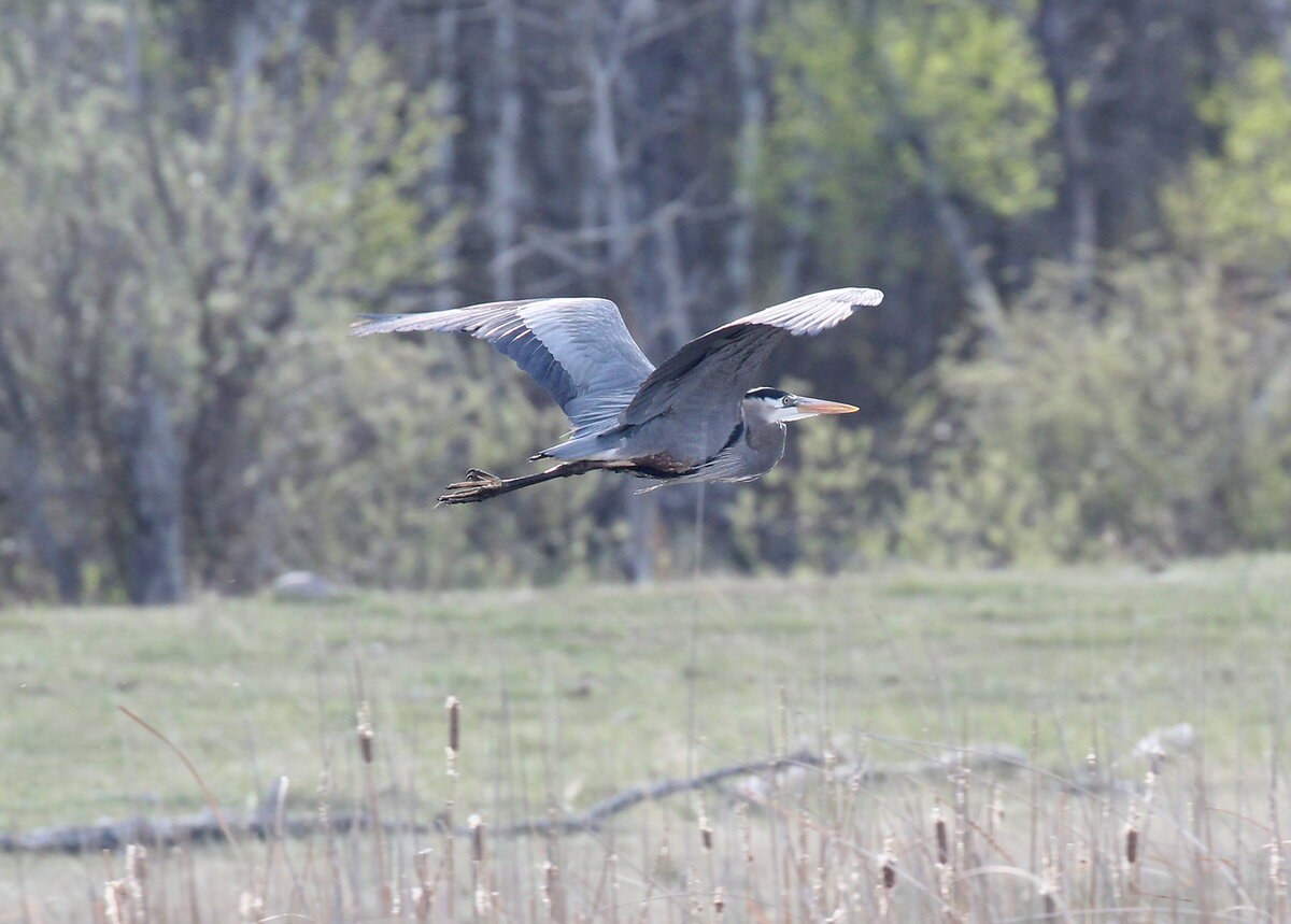 Photograph titled 'Great Blue Heron'